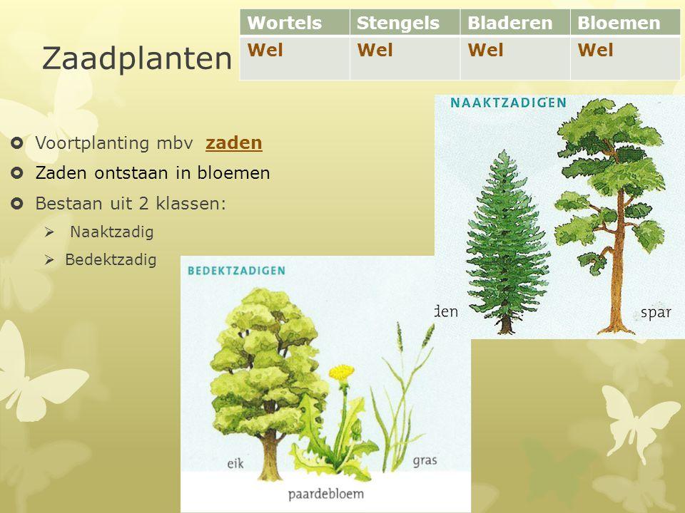 Zaadplanten  Voortplanting mbv zaden  Zaden ontstaan in bloemen  Bestaan uit 2 klassen:  Naaktzadig  Bedektzadig WortelsStengelsBladerenBloemen W