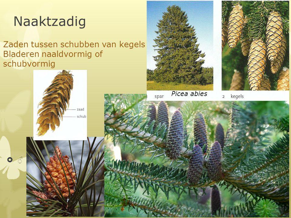 Naaktzadig ♂♂ Picea abies Zaden tussen schubben van kegels Bladeren naaldvormig of schubvormig