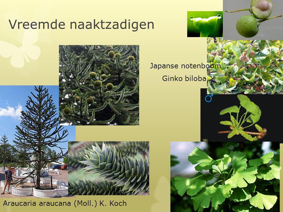 Vreemde naaktzadigen Araucaria araucana (Moll.) K. Koch Ginko biloba Japanse notenboom