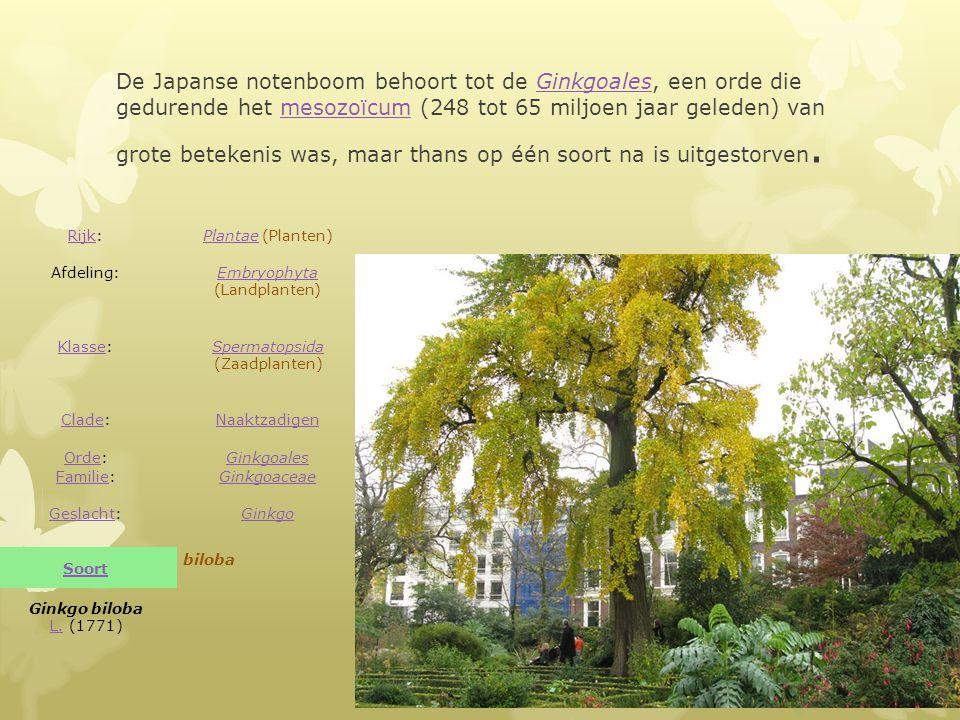 De Japanse notenboom behoort tot de Ginkgoales, een orde die gedurende het mesozoïcum (248 tot 65 miljoen jaar geleden) van grote betekenis was, maar