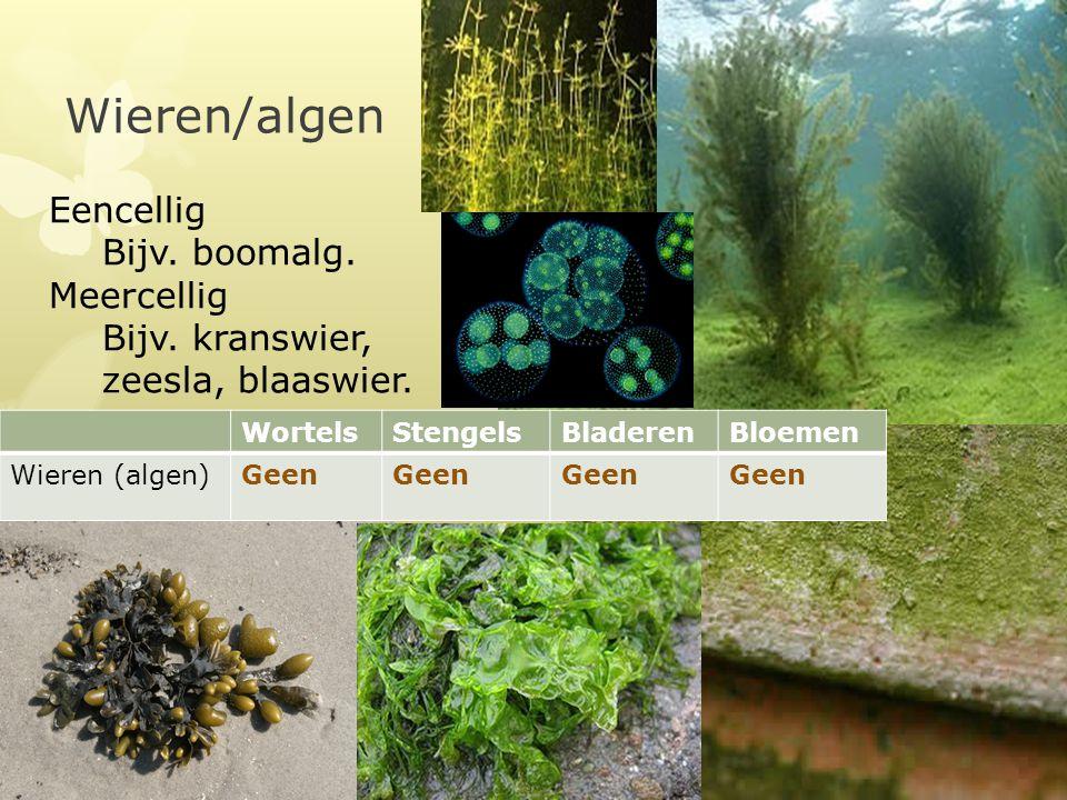 Wieren/algen WortelsStengelsBladerenBloemen Wieren (algen)Geen Eencellig Bijv. boomalg. Meercellig Bijv. kranswier, zeesla, blaaswier.