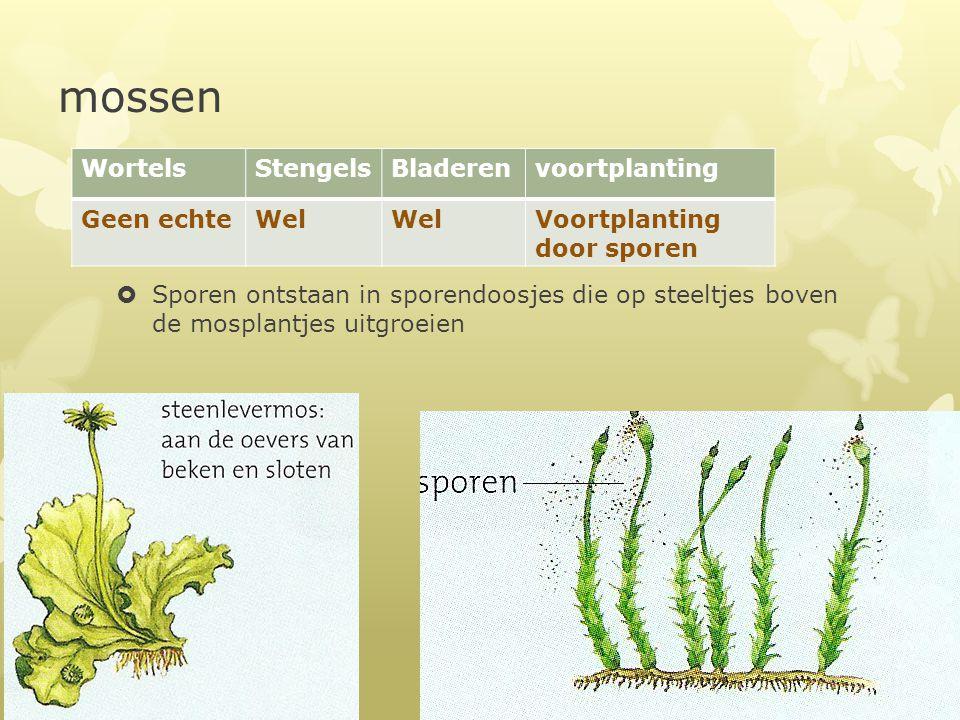 mossen  Sporen ontstaan in sporendoosjes die op steeltjes boven de mosplantjes uitgroeien WortelsStengelsBladerenvoortplanting Geen echteWel Voortpla