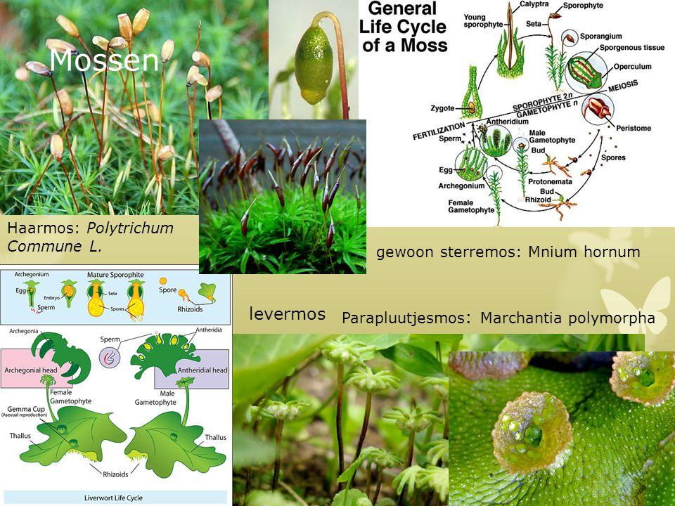 Mossen levermos Parapluutjesmos : Marchantia polymorpha gewoon sterremos: Mnium hornum Haarmos: Polytrichum Commune L.