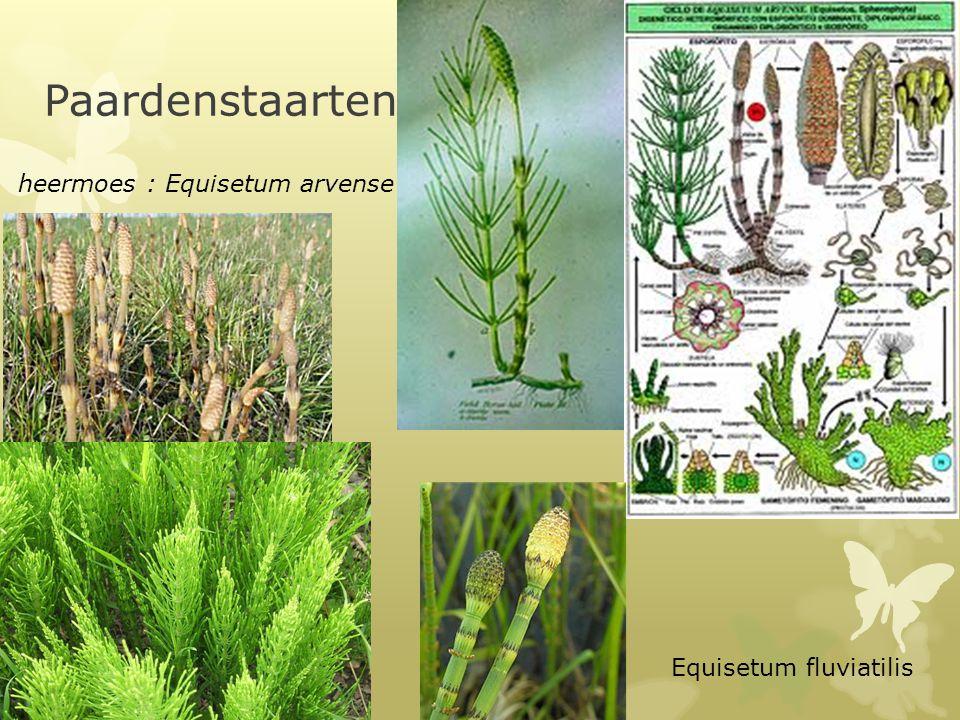 Paardenstaarten heermoes : Equisetum arvense Equisetum fluviatilis