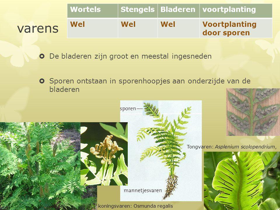 varens  De bladeren zijn groot en meestal ingesneden  Sporen ontstaan in sporenhoopjes aan onderzijde van de bladeren WortelsStengelsBladerenvoortpl