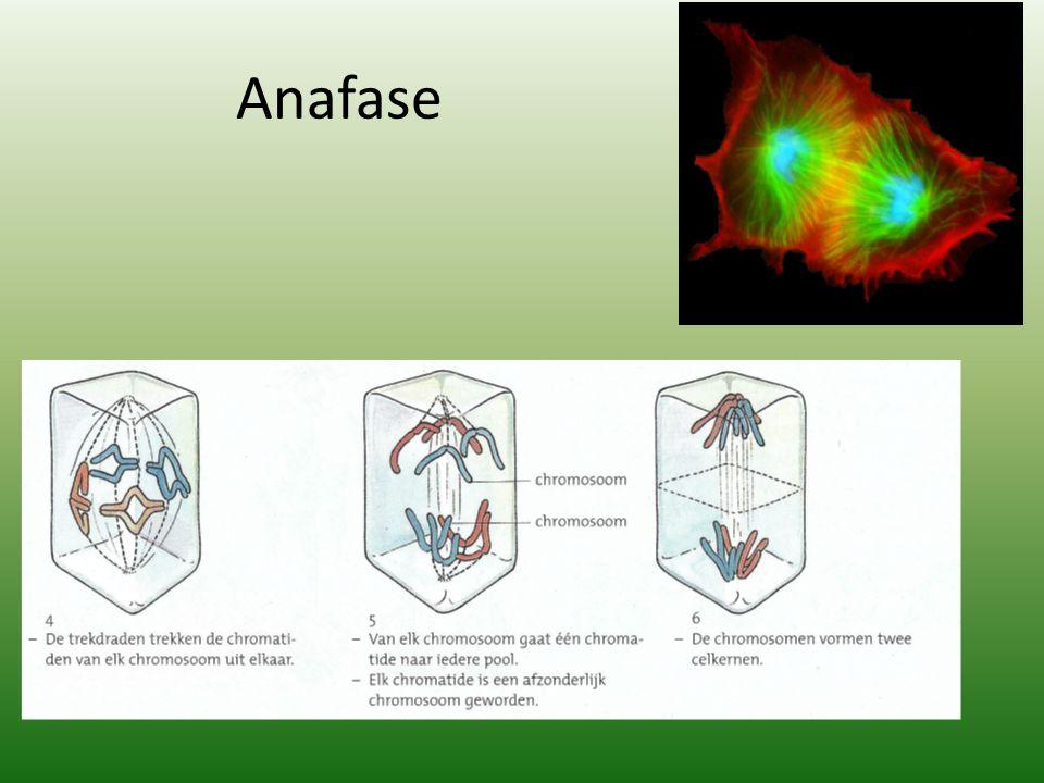 Anafase