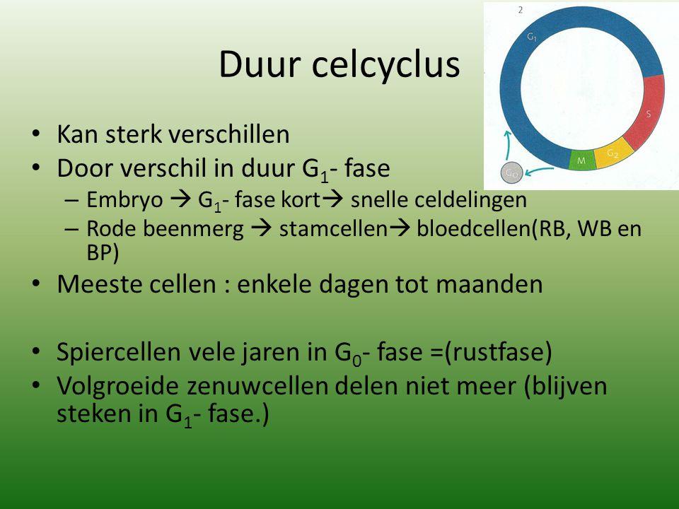 Duur celcyclus Kan sterk verschillen Door verschil in duur G 1 - fase – Embryo  G 1 - fase kort  snelle celdelingen – Rode beenmerg  stamcellen  b