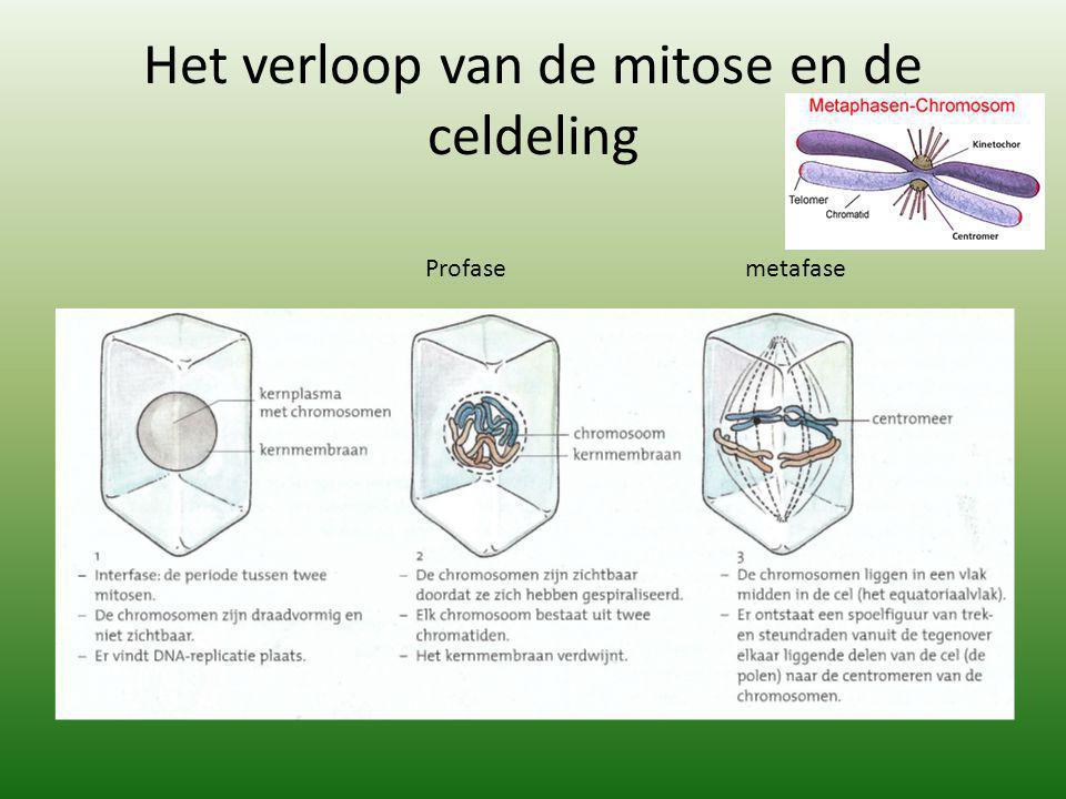 Het verloop van de mitose en de celdeling Profasemetafase