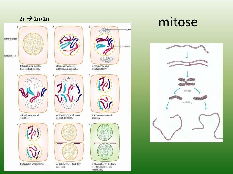 mitose 2n  2n+2n