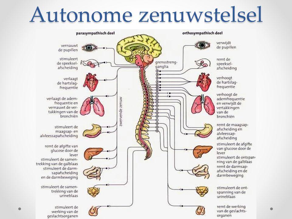 geleiding Orthosympatisch  vanuit ruggenmerg impulsen via grensstrengen naar organen Ganglia: ophoping van neuronen buiten centrale zenuwstelsel (vormen samen grensstrengen) o Vanaf ganglia naar organen ganglion zijstreng rugzijde