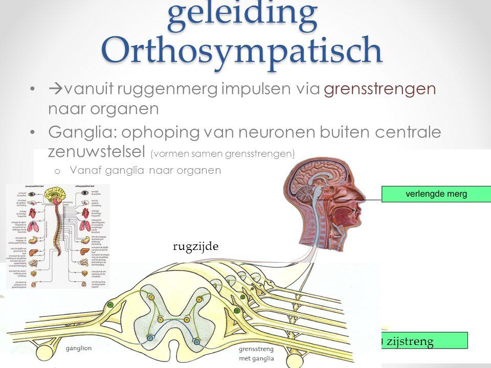 geleiding parasympatisch Door de linker en rechter zwevende zenuw Ontspringen in hersenstam o Vertakkingen naar organen ganglion