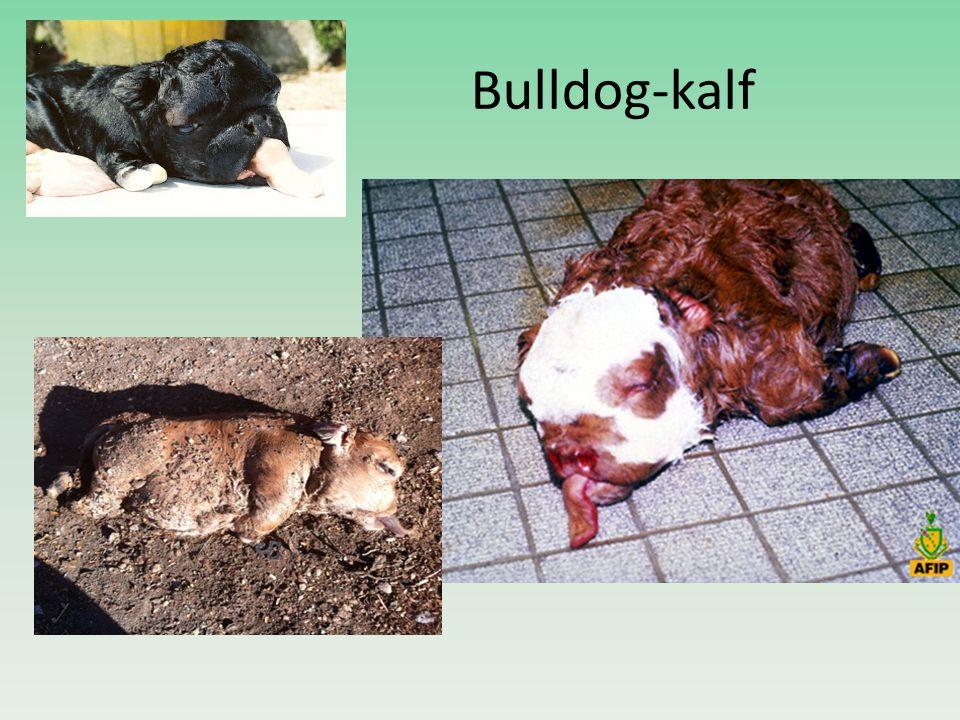 Bulldog-kalf