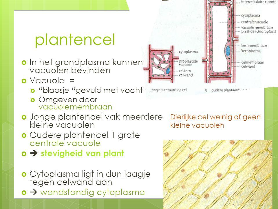 """plantencel  In het grondplasma kunnen zich vacuolen bevinden  Vacuole =  """"blaasje """"gevuld met vocht  Omgeven door vacuolemembraan  Jonge plantenc"""