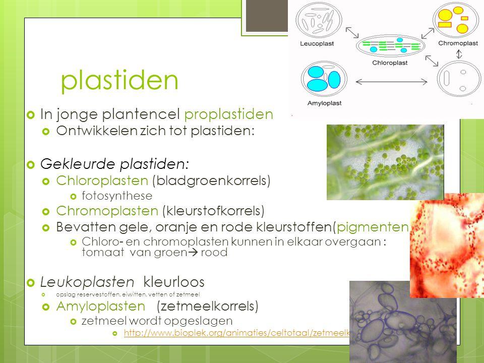 plastiden  In jonge plantencel proplastiden  Ontwikkelen zich tot plastiden:  Gekleurde plastiden:  Chloroplasten (bladgroenkorrels)  fotosynthes
