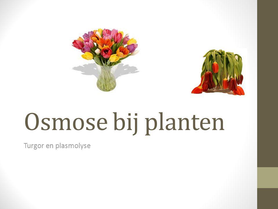 Osmose bij planten Turgor en plasmolyse
