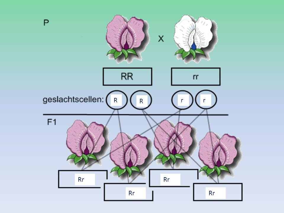 P  F1  F2  2 soorten gameten mogelijke per dier Aa Kruisingen tussen 2 Aa-dieren Fenotype : ¾ zwart ¼ rood F2 =genotype