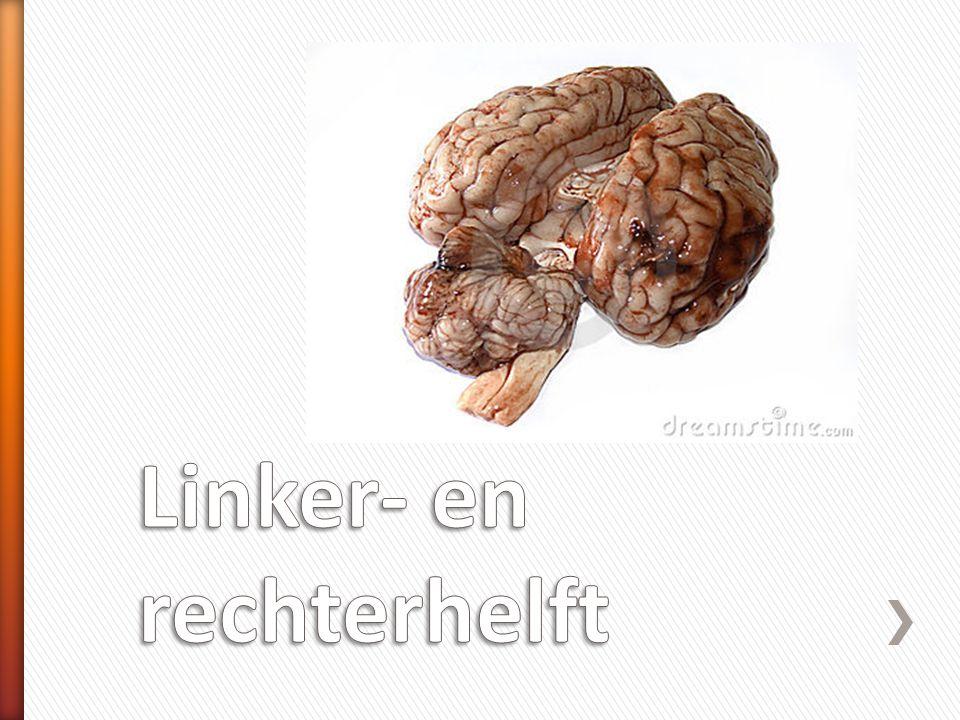 » Linkerhelft en rechterhelft » Sterk geplooid » Schors  grijze stof ˃cellichamen van schakelcellen » Merg  witte stof ˃Uitlopers van zenuwcellen ruggenmerg