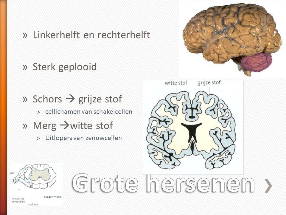 » Linkerhelft en rechterhelft » Sterk geplooid » Schors  grijze stof ˃cellichamen van schakelcellen » Merg  witte stof ˃Uitlopers van zenuwcellen ru