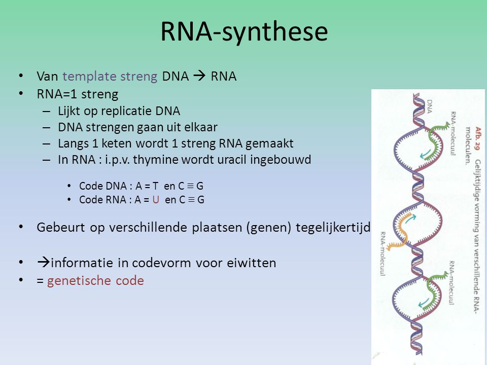 RNA-synthese Van template streng DNA  RNA RNA=1 streng – Lijkt op replicatie DNA – DNA strengen gaan uit elkaar – Langs 1 keten wordt 1 streng RNA ge