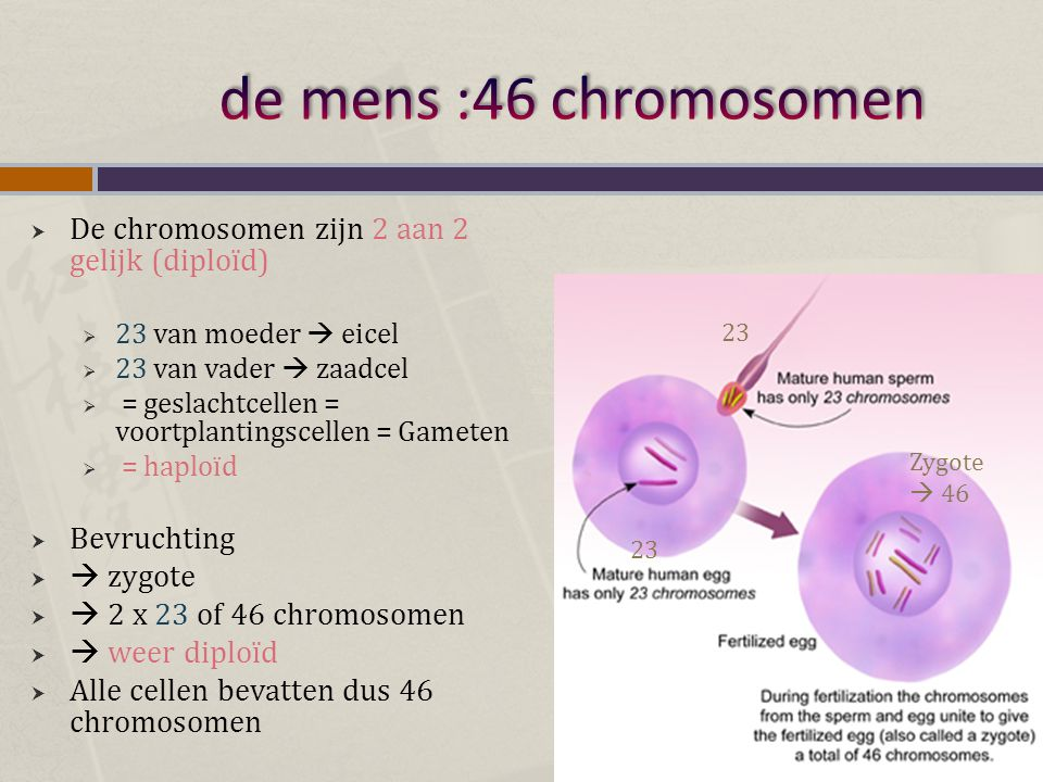  De chromosomen zijn 2 aan 2 gelijk (diploïd)  23 van moeder  eicel  23 van vader  zaadcel  = geslachtcellen = voortplantingscellen = Gameten 