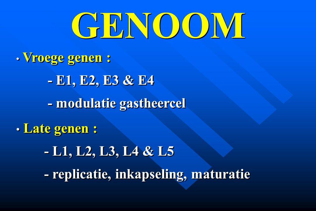 GENOOM Vroege genen : - E1, E2, E3 & E4 - modulatie gastheercel Late genen : - L1, L2, L3, L4 & L5 - replicatie, inkapseling, maturatie Vroege genen :