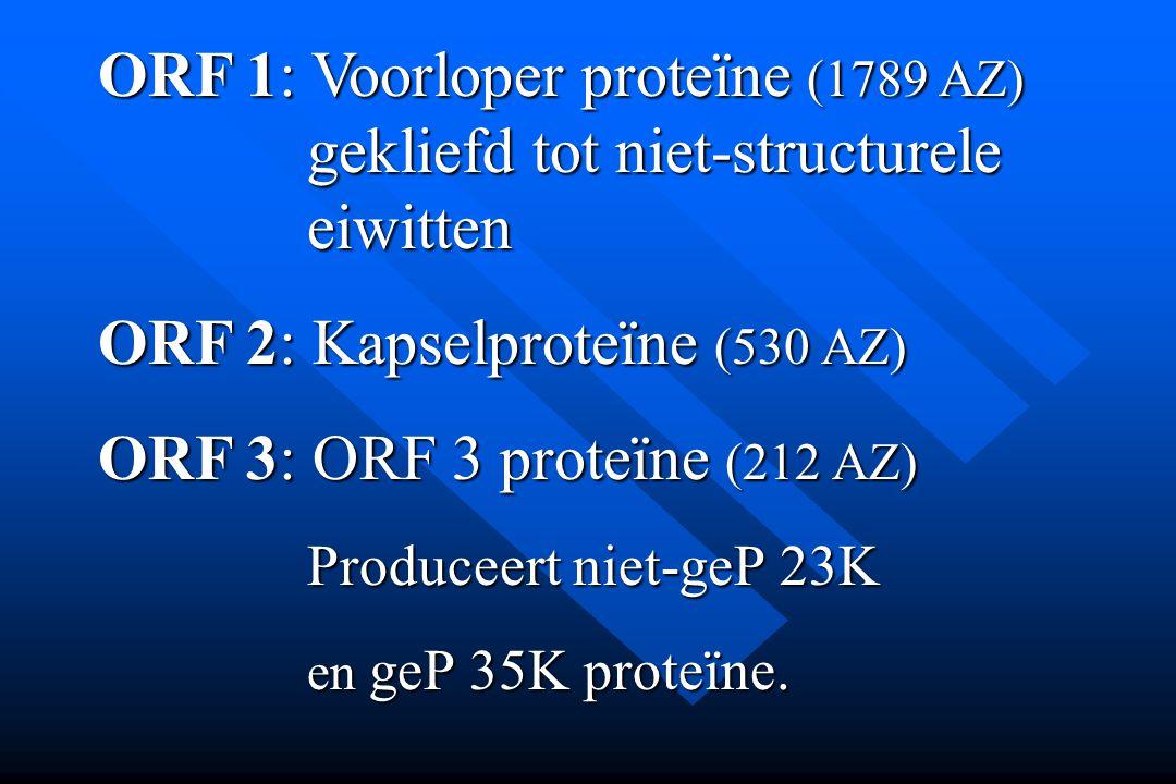 ORF 1: Voorloper proteïne (1789 AZ) gekliefd tot niet-structurele eiwitten ORF 2: Kapselproteïne (530 AZ) ORF 3: ORF 3 proteïne (212 AZ) Produceert ni