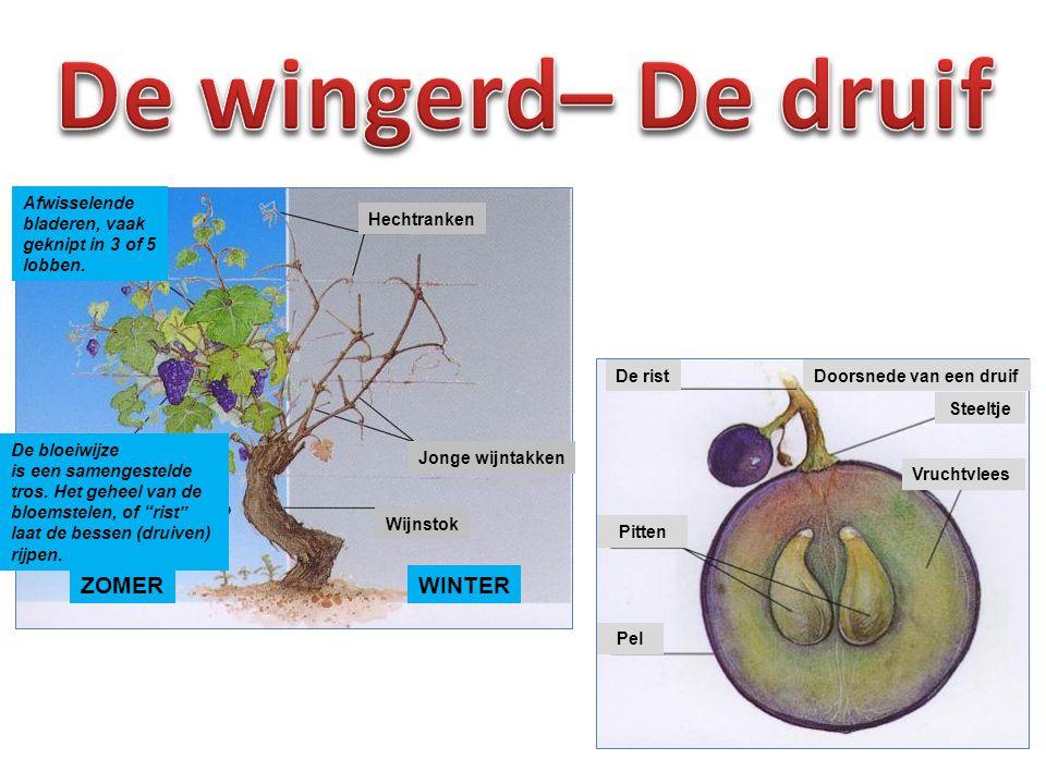 Botrytis Cinerea is een champignon die overal in Frankrijk de druiven aanvalt van zodra het vochtig weer wordt.