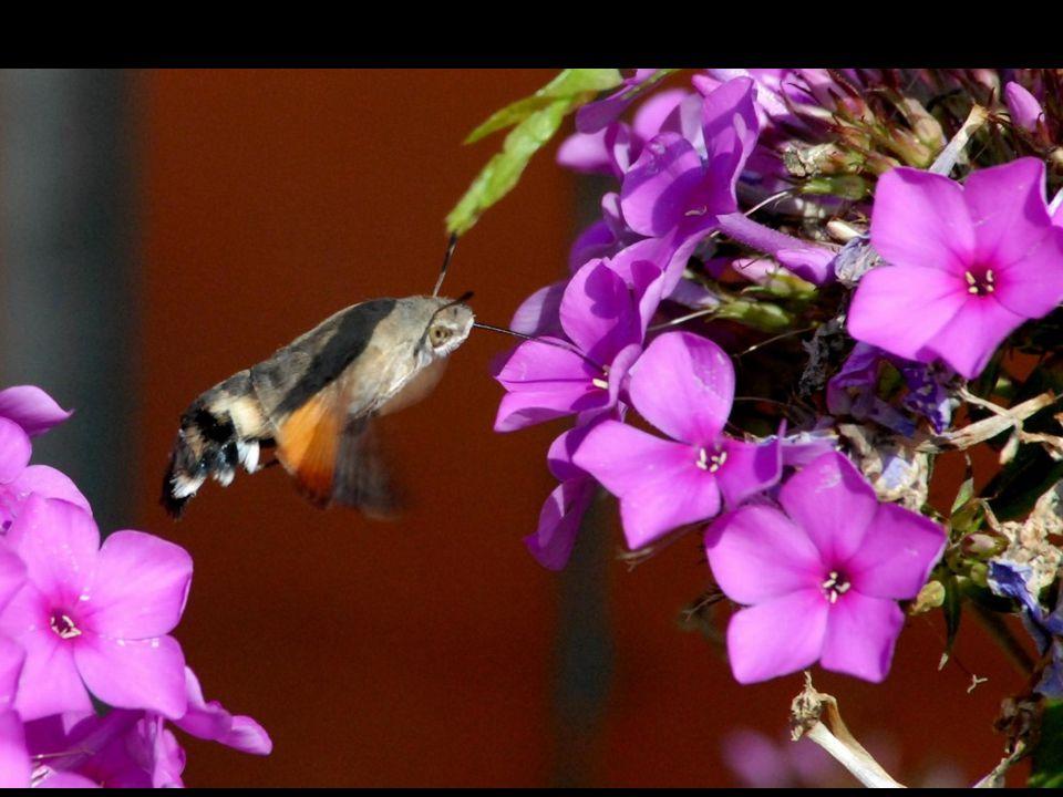 Kolibrievlinder: nachtvlinder die ook overdag vliegt, komt uit het zuiden.
