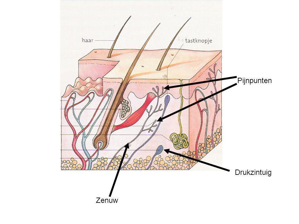 Opbouw van de huid De huid bestaat uit 2 delen –Opperhuid & Lederhuid Opperhuid bestaat uit 2 delen: –Hoornlaag = resten van dode, verhoornde cellen Extra dikke hoornlaag = eelt –Kiemlaag = levende cellen