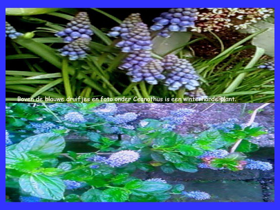 Boven de blauwe druifjes en foto onder Ceanothus is een winterharde plant.