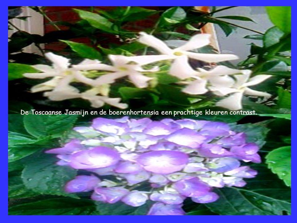 De Toscaanse Jasmijn en de boerenhortensia een prachtige kleuren contrast.