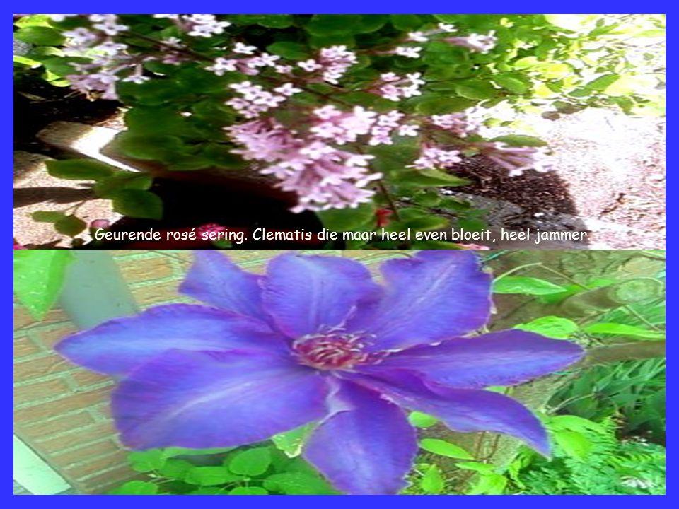 Geurende rosé sering. Clematis die maar heel even bloeit, heel jammer.
