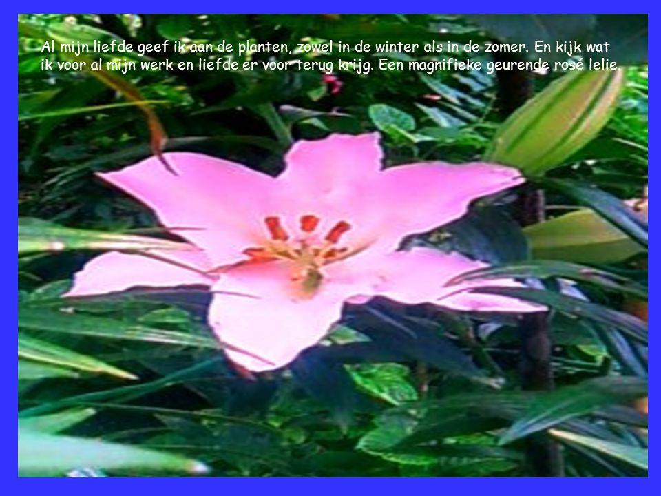Al mijn liefde geef ik aan de planten, zowel in de winter als in de zomer. En kijk wat ik voor al mijn werk en liefde er voor terug krijg. Een magnifi