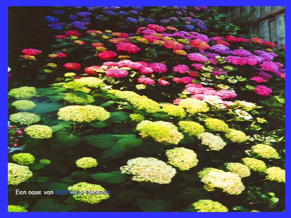Een oase van hortensia bloemen.