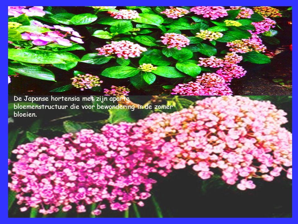 De Japanse hortensia met zijn aparte bloemenstructuur die voor bewondering in de zomer bloeien.