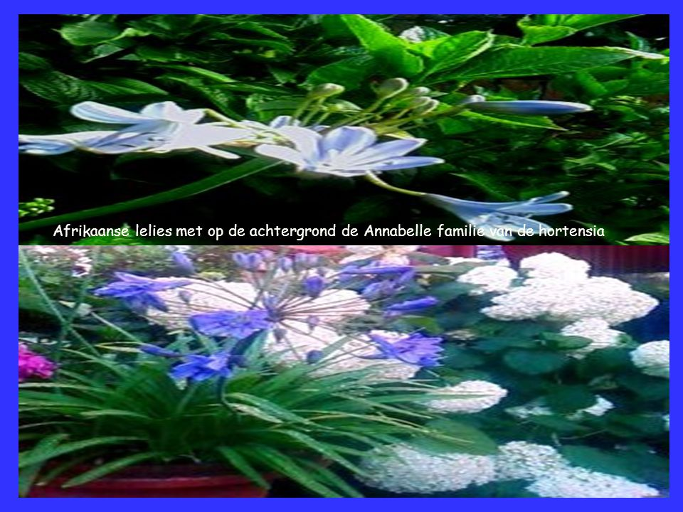 Afrikaanse lelies met op de achtergrond de Annabelle familie van de hortensia