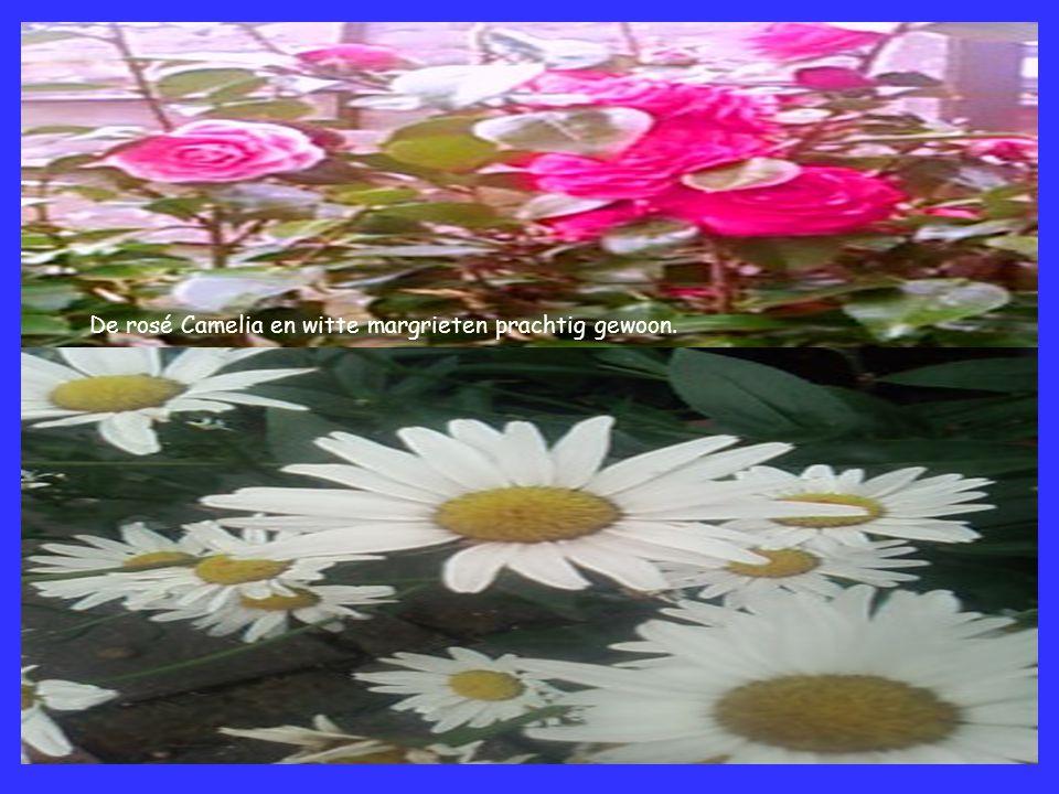 De rosé Camelia en witte margrieten prachtig gewoon.