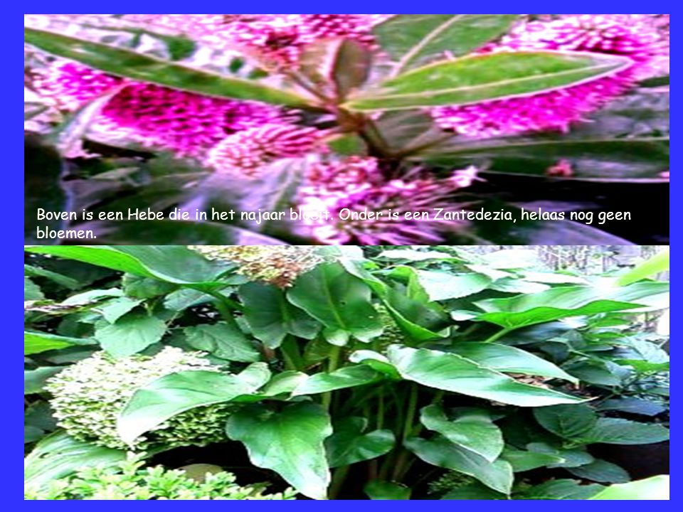 Boven is een Hebe die in het najaar bloeit. Onder is een Zantedezia, helaas nog geen bloemen.