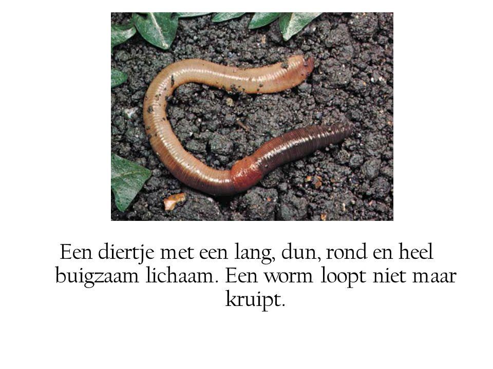 Een diertje met een lang, dun, rond en heel buigzaam lichaam. Een worm loopt niet maar kruipt.