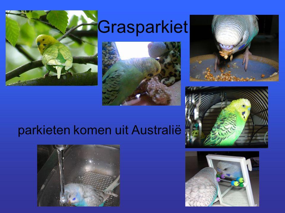 Grasparkiet parkieten komen uit Australië