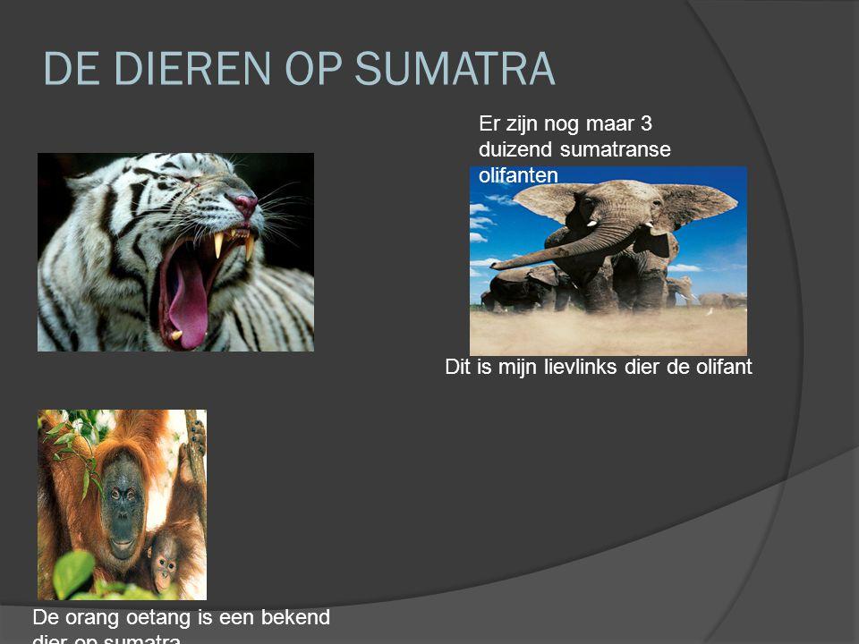 DE DIEREN OP SUMATRA De orang oetang is een bekend dier op sumatra Dit is mijn lievlinks dier de olifant Er zijn nog maar 3 duizend sumatranse olifanten