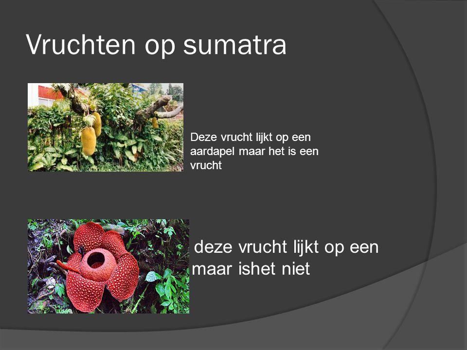 Vruchten op sumatra \ deze vrucht lijkt op een plant maar ishet niet Deze vrucht lijkt op een aardapel maar het is een vrucht