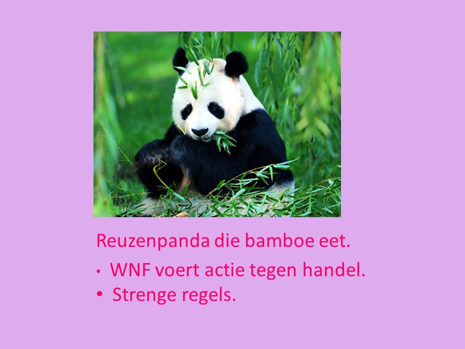 Reuzenpanda die bamboe eet. WNF voert actie tegen handel. Strenge regels.