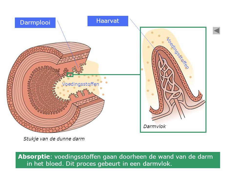 Absorptie: voedingsstoffen gaan doorheen de wand van de darm in het bloed. Dit proces gebeurt in een darmvlok. Stukje van de dunne darm Voedingsstoffe