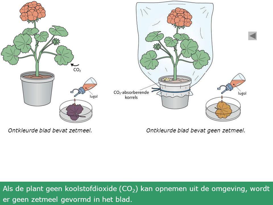 Ontkleurde blad bevat zetmeel.Ontkleurde blad bevat geen zetmeel.