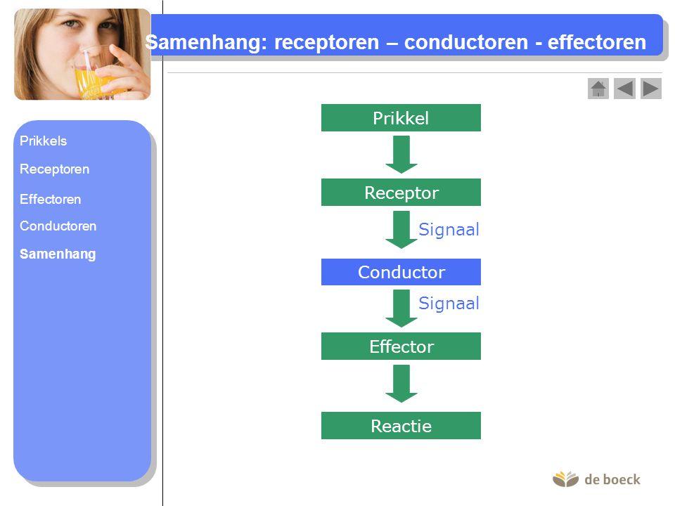 Samenhang: receptoren – conductoren - effectoren Prikkel Effector Reactie Receptor Signaal Conductor Signaal Prikkels Receptoren Conductoren Samenhang Effectoren