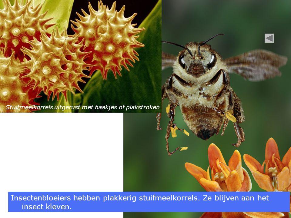 Insectenbloeiers hebben plakkerig stuifmeelkorrels.