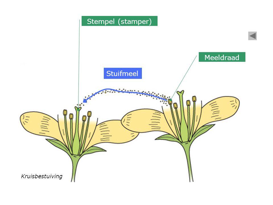 Kruisbestuiving Stuifmeel Meeldraad Stempel (stamper)