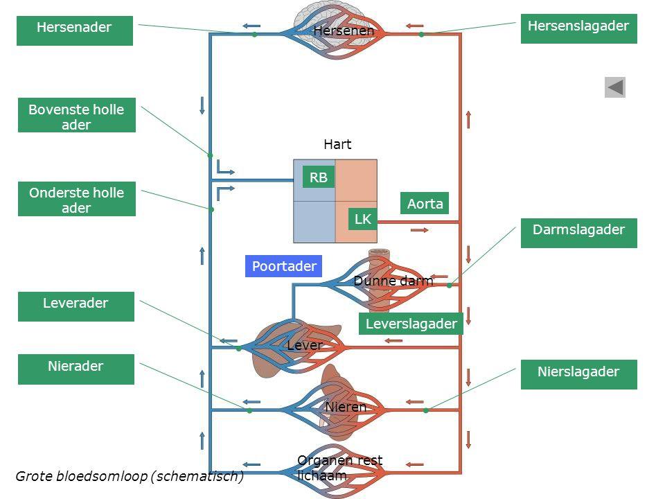 Grote bloedsomloop (schematisch) Hart Hersenen Dunne darm Lever Nieren Organen rest lichaam LK Aorta Poortader Leverslagader Hersenslagader Hersenader