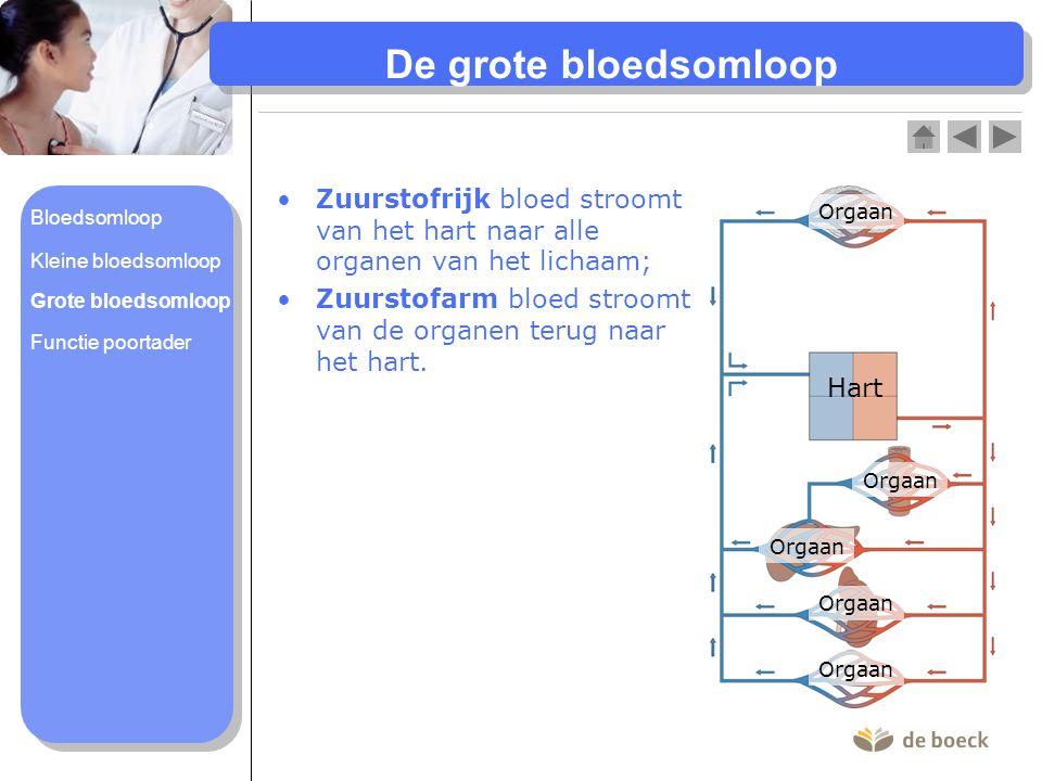 De grote bloedsomloop Zuurstofrijk bloed stroomt van het hart naar alle organen van het lichaam; Zuurstofarm bloed stroomt van de organen terug naar h
